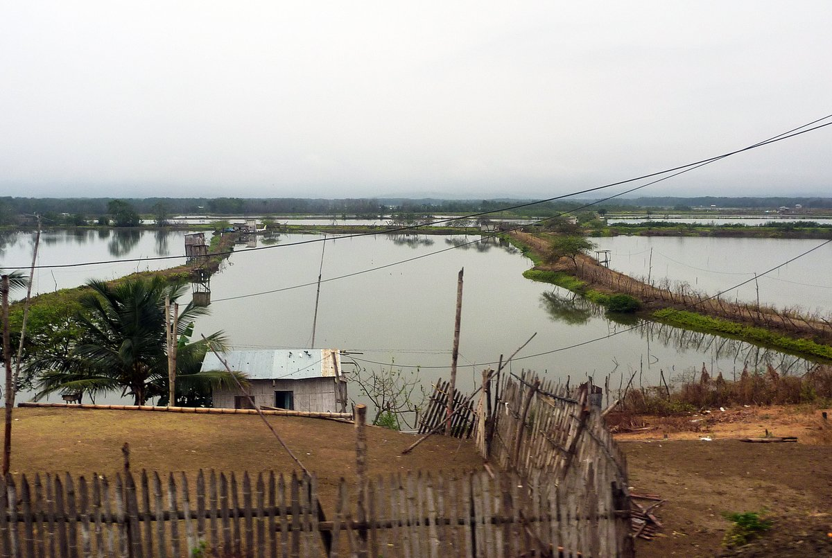 Shrimp Farms, Ecuador