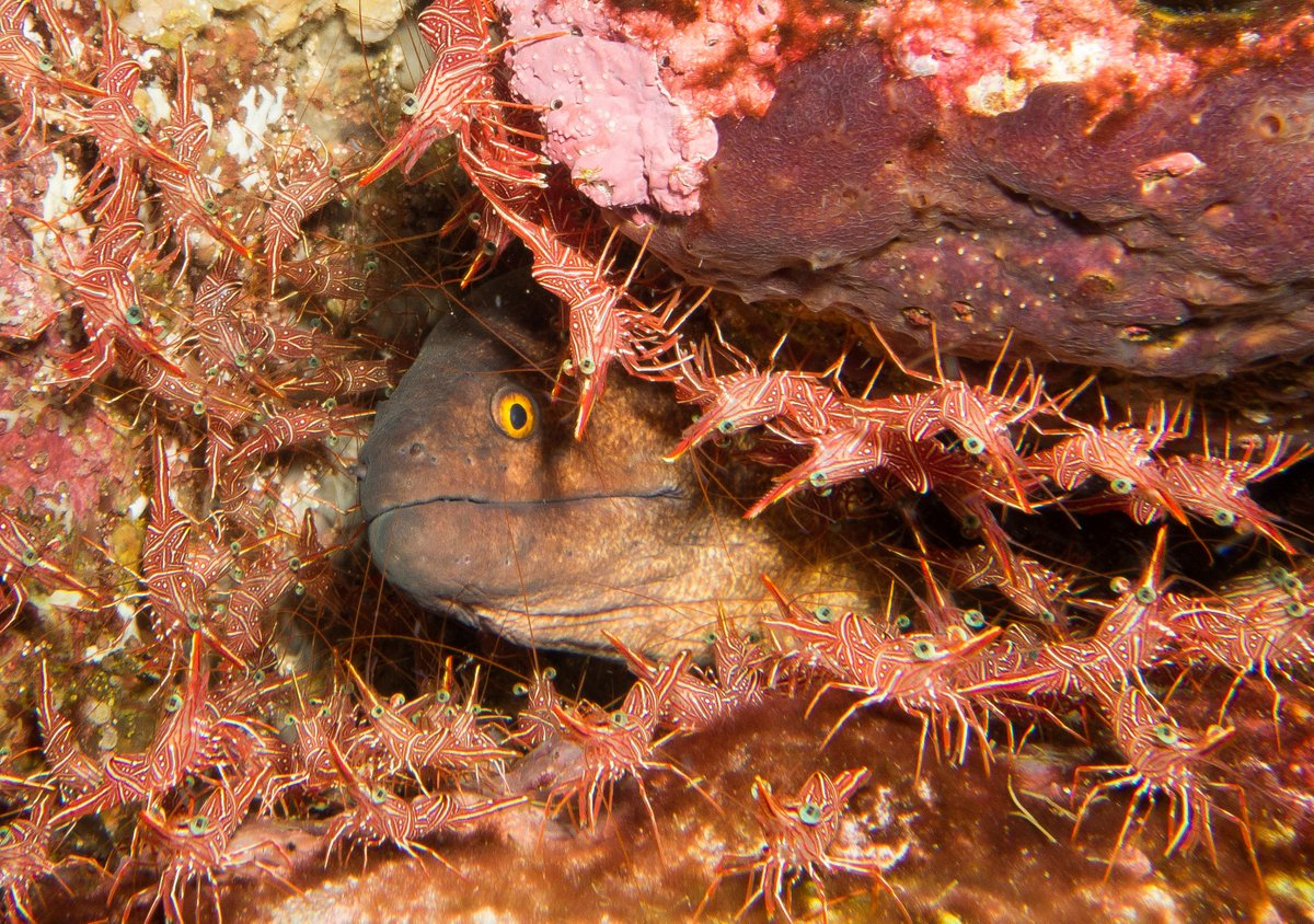 Moray With Shrimp