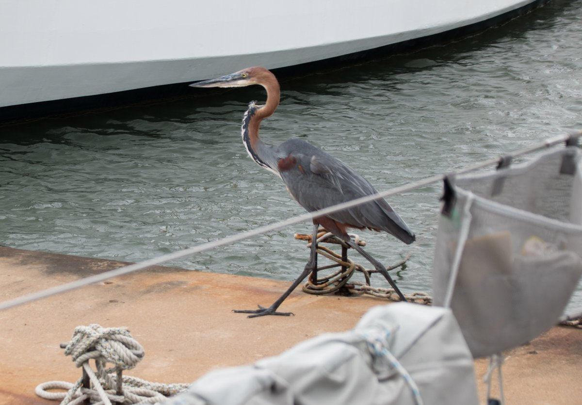 A Goliath Heron stalks past our boat
