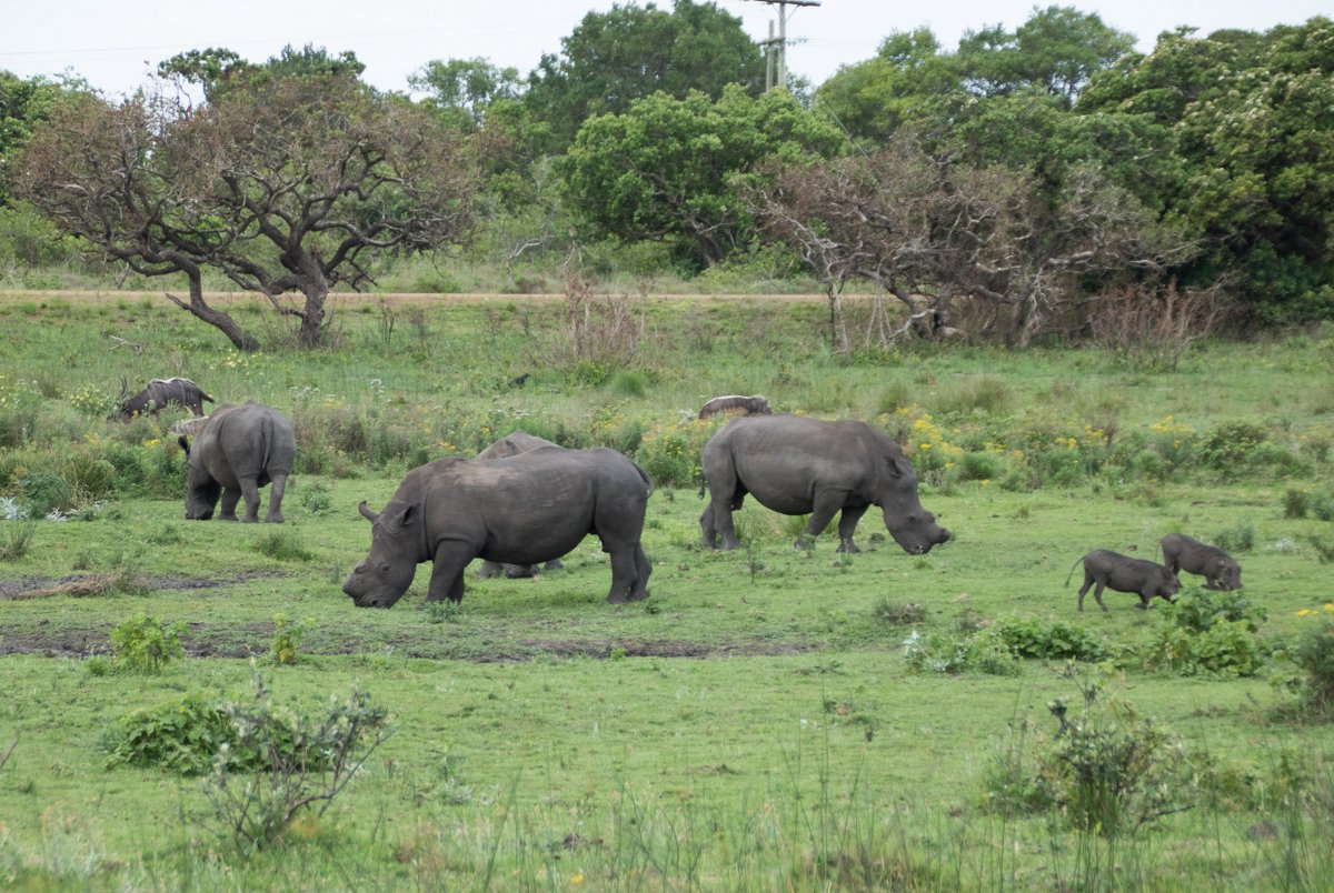 White Rhino and Warthogs