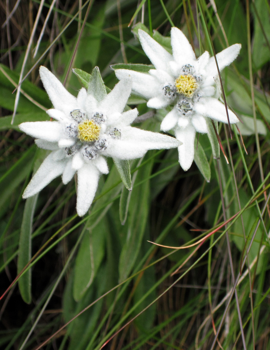 Edelweiss, Cogne, Italy
