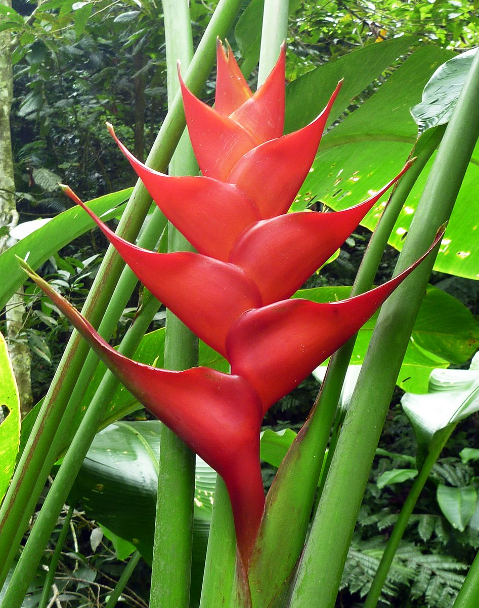 Heliconia, Rain Forest, Nevis
